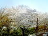 Sakura_mitaka2_033106_1